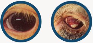 Maxiguard Pinkeye Bacterin Addison Biological Laboratory Inc